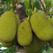 Jackfruit Seeds, Tropical Rare Seed, 5pcs/pack