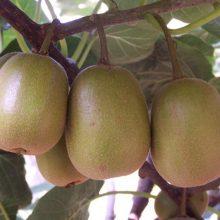 Kiwi Seeds, Fruit Seeds,100pcs/pack
