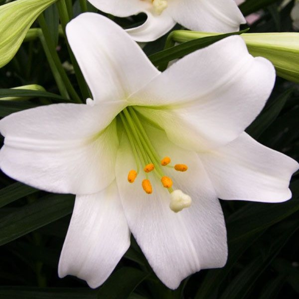 Mixed Color Lily Seeds, Rare Flower Seeds, 100pcs/pack
