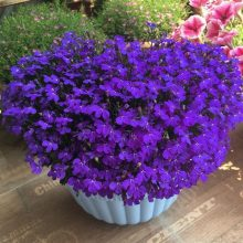 Multi-Color Lobelia Seeds, 100pcs/pack