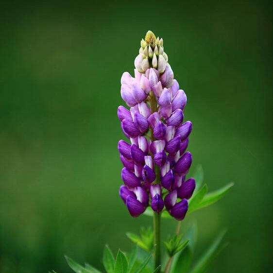 Lupine Flower Seeds, 100pcs/pack