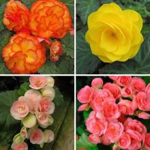 Multi-Color Begonia Flower Seeds, Malus Spectabilis Seeds, 100pcs/pack