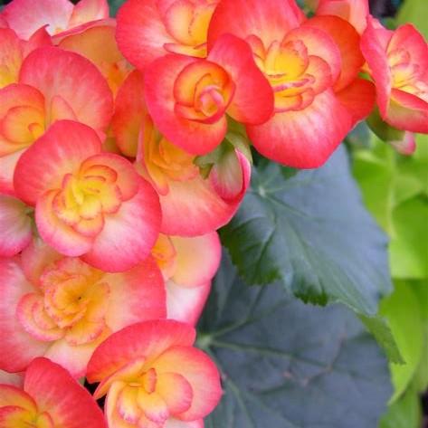 Multi-Color Begonia Flower Seeds, Malus Spectabilis Seeds, 100pcs/pack