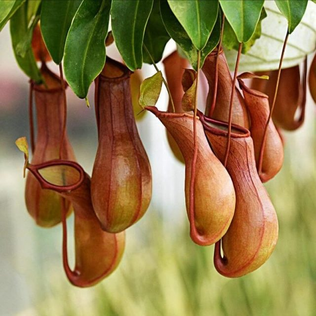 Nepenthes Seeds Eating Mosquito Varieties of Plants Seed  100seeds / pack,