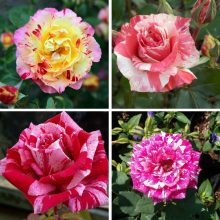 100pcs Rare Candy Stripe rose seeds, Perennial Indoor bonsai plant flower seeds,for home and garden,multiple color rose
