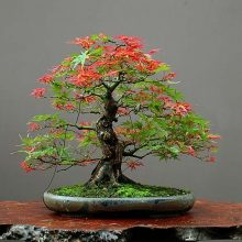 10 seeds/pack Maple Feathers Bonsai Seed The Budding Rate 90% Tree Seeds