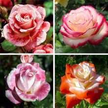 100pcs/bag Rare mixed color flower seeds rainbow rose seeds beautiful flowers bonsai plant seeds for home garden
