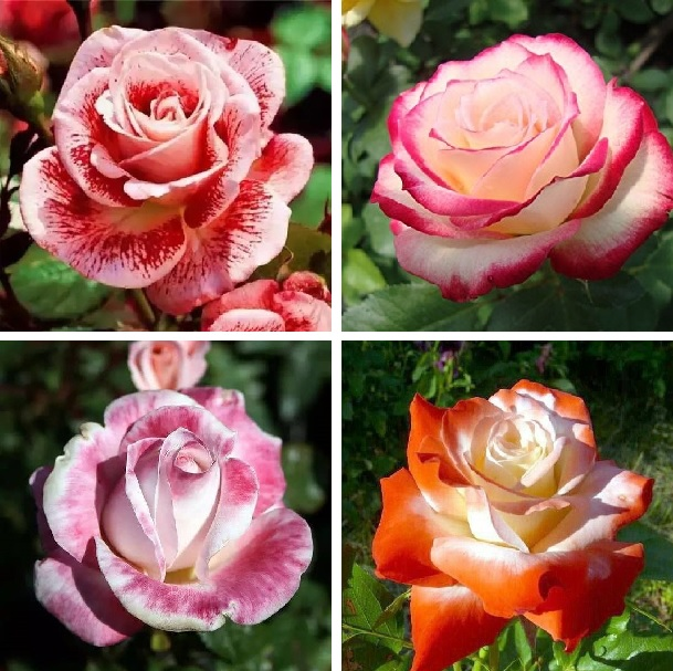 Rare Mixed Rainbow  Color Rose Seeds,100pcs/pack