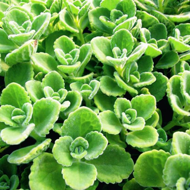 Oregano Seeds, 100pcs/pack