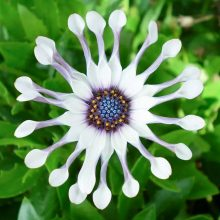 Amazing Osteospermum Seeds, 30 pcs/pack