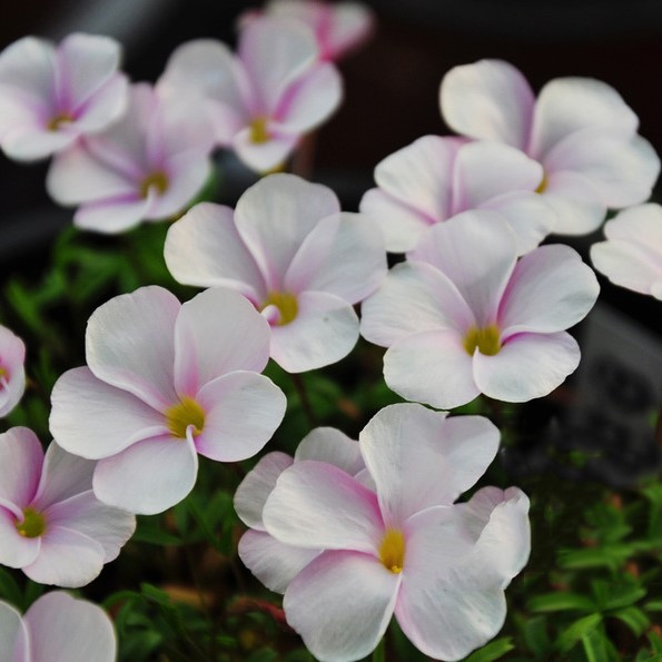Multi-Varieties Rare Oxalis Seeds,100pcs/pack