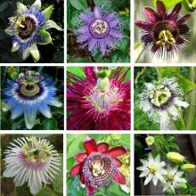 Rare Passion Flower Seeds, Passiflora Incarnata Seeds, 100pcs/pack