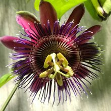 Multi-Color Passion Flower Seeds, Passiflora Incarnata Seeds, 100pcs/pack