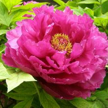 10pcs/bag mixed color peony seeds Tree Peony Seeds beautiful Decoration bonsai flower plant for home garden