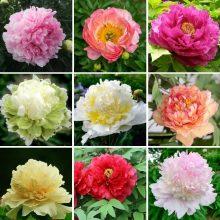 True Peony Flower seeds,tree peony,for great varieties,10 seeds/PACK