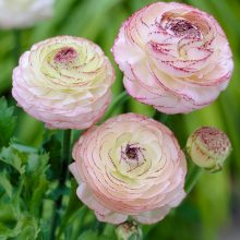 Ranunculus Asiaticus Flower Seeds, 50pcs/pack