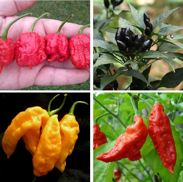 Multi-Varieties Hot Chili Seeds, Pepper Seeds, 100pcs/pack