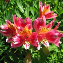 Mixed Peruvian Lily Flower Seeds, Alstroemeria Seeds, 100pcs/pack