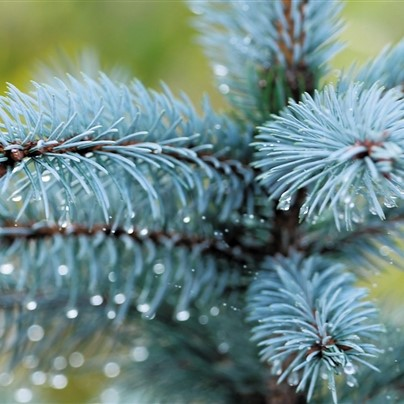 Blue Spruce Seeds, Picea Pungens Seeds, 50pcs/pack