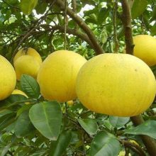Pomelo Seeds, 50pcs/pack
