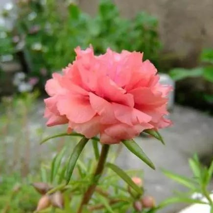 Pink Portulaca Seed Flower, 200pcs/pack
