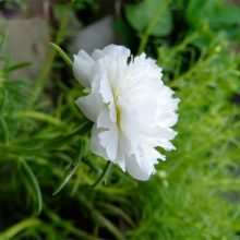 White Portulaca Seeds, 200pcs/pack