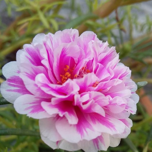 Double Petals Portulaca Grandiflora Flower Seeds, 200pcs/pack