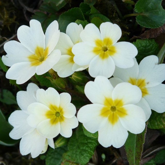 Mini Primula Malacoides Seeds, 100pcs/pack