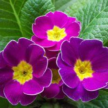 Multi-Varities Primula Malacoides Seeds, Primrose Seeds, 100pcs/pack
