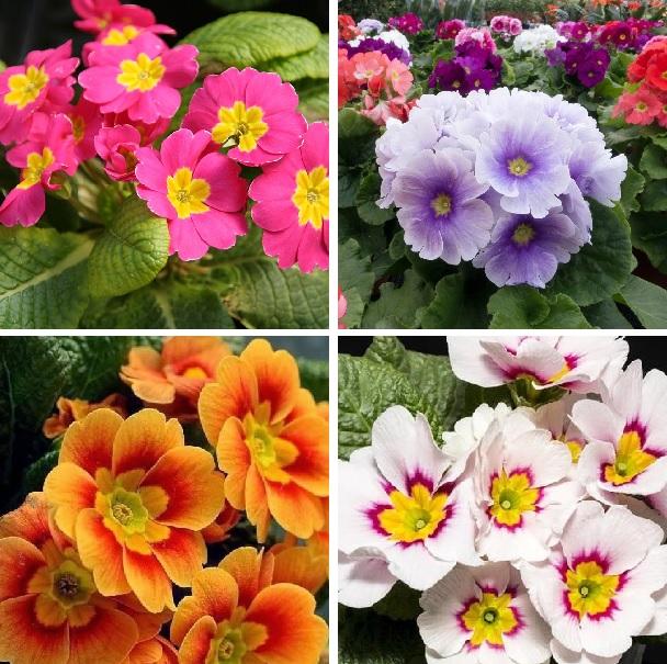 Multi-Color Primula Malacoides Seeds, Primrose Seeds, 100pcs/pack