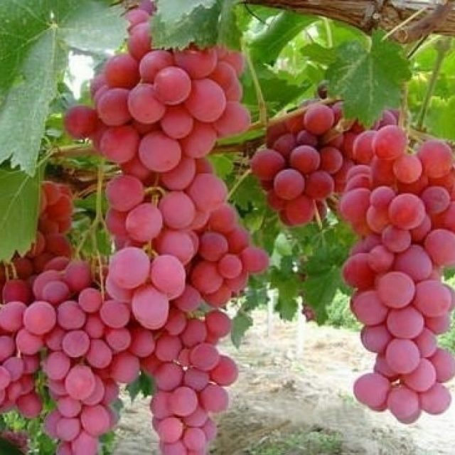 Giant Pink Grapes Seeds, 10pcs/pack