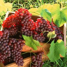 Red Grape Seeds, 100pcs/pack