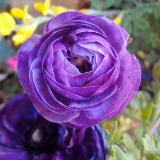 Multi-Color Ranunculus Asiaticus Seeds, 50pcs/pack