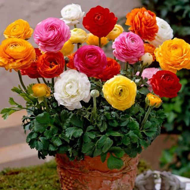 Ranunculus Asiaticus Flower Seeds, 50pcs/pack