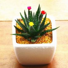 Vegetables and fruit seeds Aloe vera seeds edible beauty cosmetic Bonsai plants Seeds for home garden 100PCS