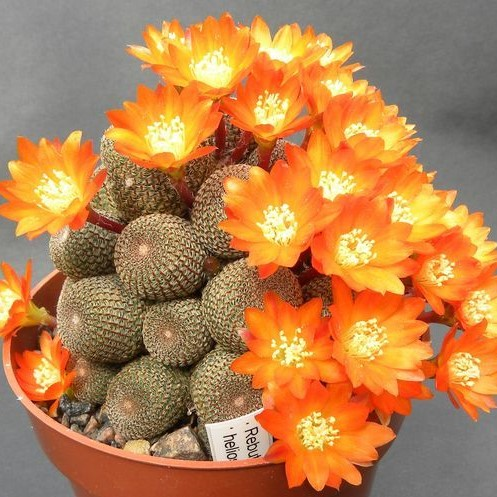 100pcs/bag mixed color rare succulent plant Succulent Cactus Seeds  Lithops Pseudotruncatella seeds bonsai plant for home garden