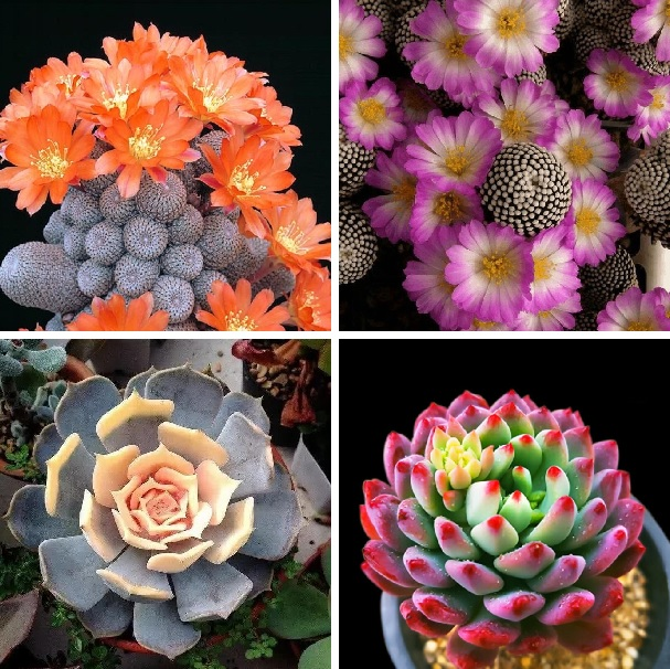 100pcs/bag mixed color rare succulent plant Succulent Cactus Seeds  Lithops Pseudotruncatella seeds bonsai plant for home garden