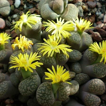 Lithops Pseudotruncatella Seeds, Succulent Seeds, Bonsai plants Seeds for home & garden 100pcs/pack