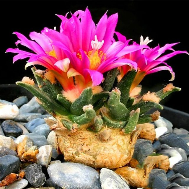 Echinopsis Tubiflora Seeds , Succulent Seeds, 100 Seeds/Pack