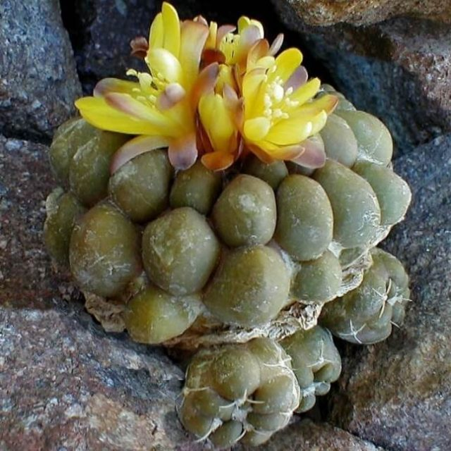 Loss Promotion!100Seed/Pack Aurora ball Cactus Seeds bonsai Succulent Plant rare flower Seeds bonsai for home & garden,#K43444