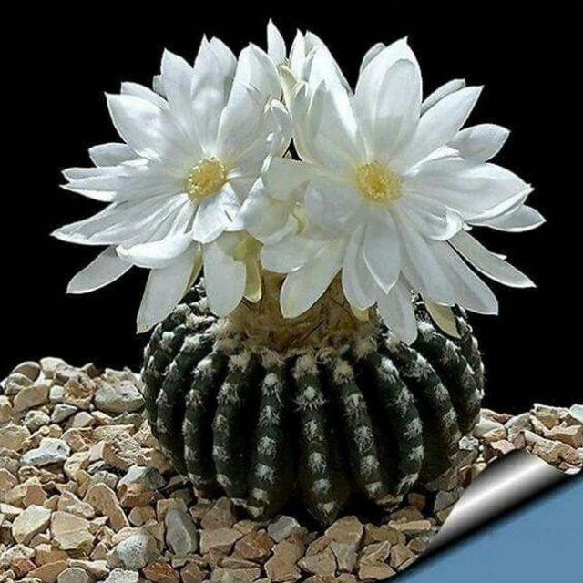 Big Sale!Succulents seeds Echinopsis tubiflora, cactus seeds, rare flower cactus,about 100 Pcs/Lot,#BSIRKZ