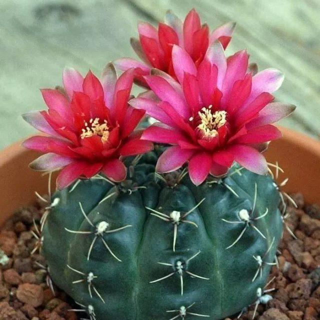 200pcs/bag Mixed Astrophytum Cactus Seeds Succulents Plants Bonsai Seeds for Home Garden Potted Plant Flower