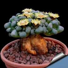 Semillas De Flores 100 Seed/Pack Succulents Raw Stone Cactus Seeds Stems Tetragonia Potted Flowers Fleshy