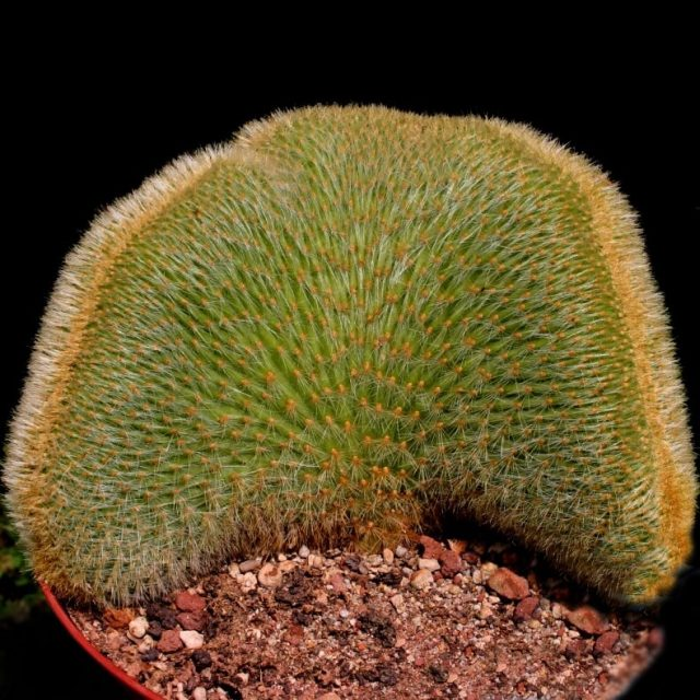 Cactus Sseed, Rare plant seeds Foliage magical garden, 100pcs/pack