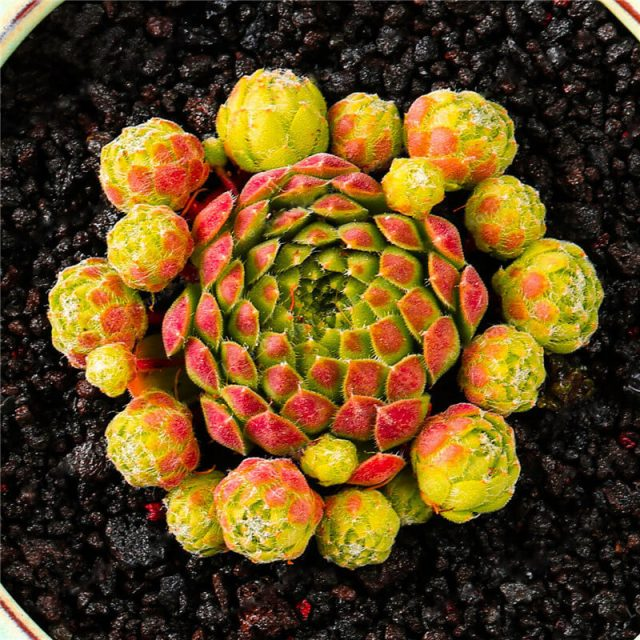 100 Seeds/pack Rare Succulent Seeds, Sempervivum Succulent Seeds, Sempervivum Oubeni Makiginu Seeds