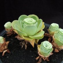 100pcs/pack Greenovia The Mountain Rose Seeds, Succulent Seeds