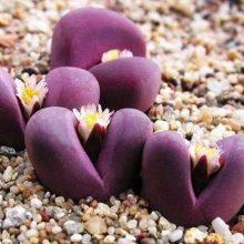 100pcs Lithops Seeds Mix Varieties Succulents Seeds rare stone flower seeds Succulents Bonsai plant for home garden