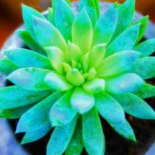Multi-Varieties Succulents Seeds, Lithops Seeds, 100pcs/pack