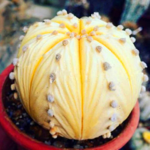 100% Real cactus seeds, astrophytum asterias rare succulent seed,bonsai flower seeds, indoor plant for home garden – 100 pcs/pack