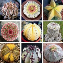 200pcs/lot Mixed Astrophytum Cactus Seeds Succulents Plants Bonsai Seeds DIY Home Garden Potted Plant Flower
